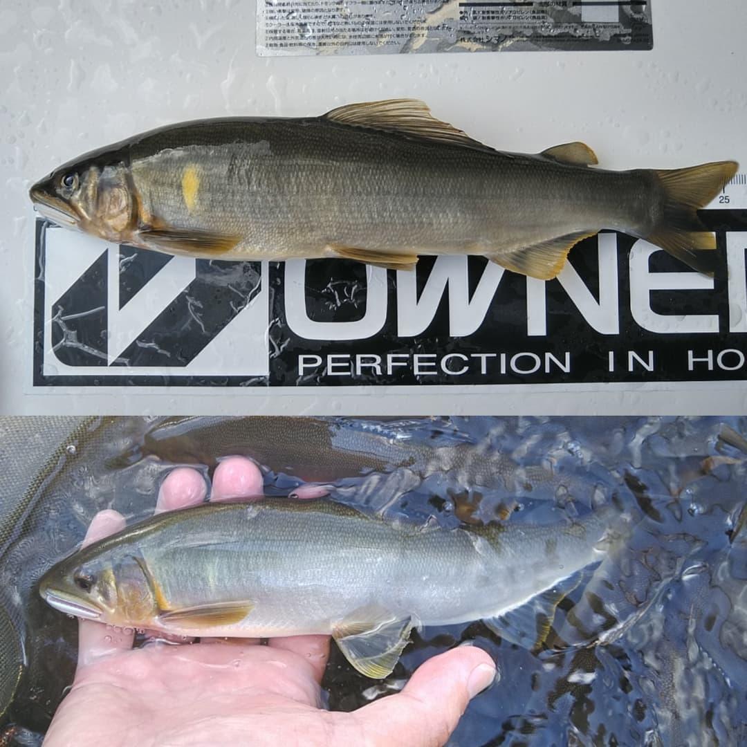 25.5cmの馬瀬川上流鮎